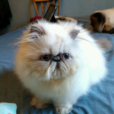 Beautiful Himalayan and Persian kittens for sale   Himalayan Kittens