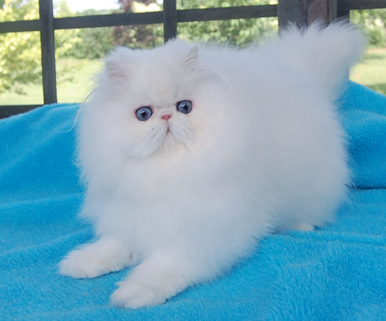 Blue Eyed White Persian